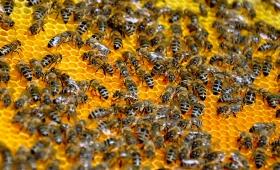 Пчелен клей /прополис/